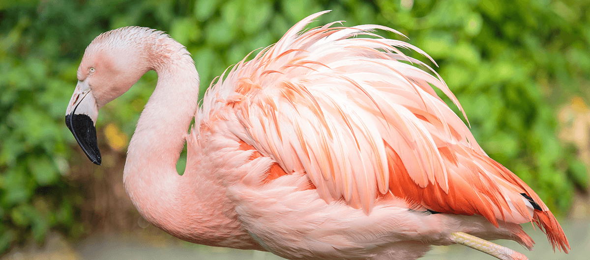 Side view of a chilean flamingo